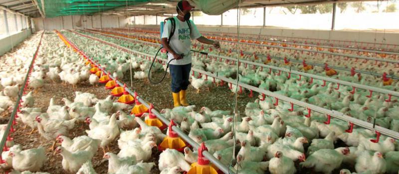 La venta de pavos y pollos se estanc en los dos ltimos for Como hacer una granja de peces